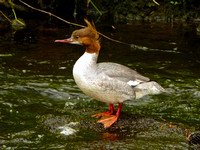 A very cooperative female Goosander