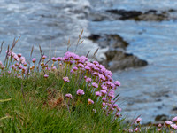 Sea Pinks on the cliffs