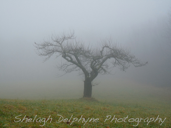 Apple Tree in the Mist