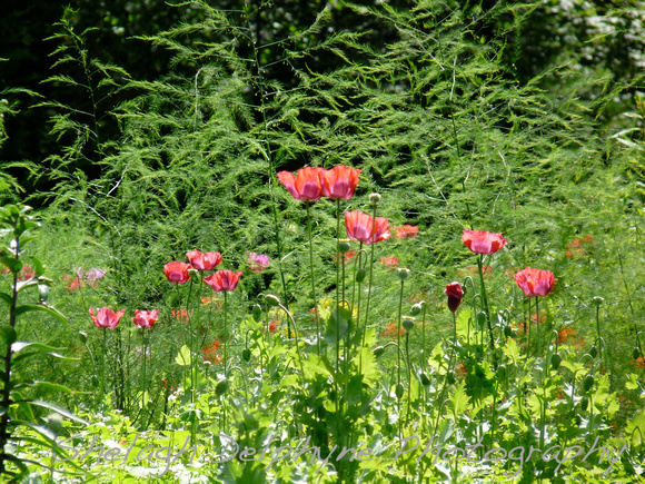 Poppies and Asparagas