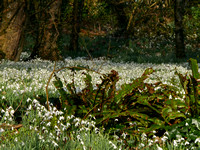 The Glory of Snowdrops